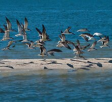 Skimmers in Flight by ejlinkphoto