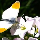 Orange-tip Butterfly by Tony Worrall