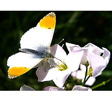 Orange-tip Butterfly Photographic Print
