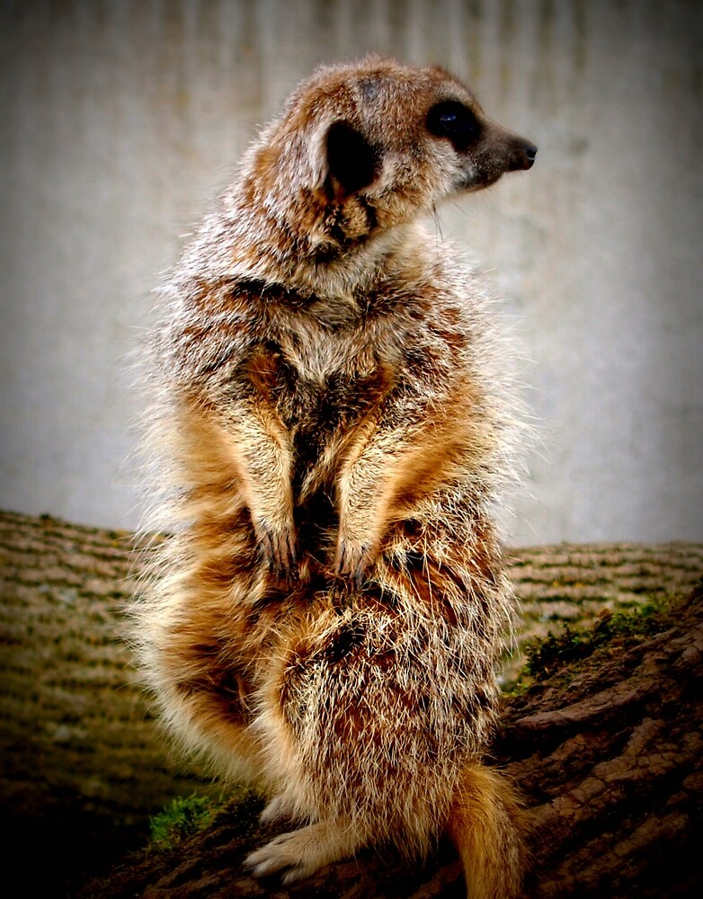 Meerkat by Tony Worrall