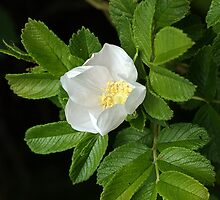 Rosa canina by Roger Hall