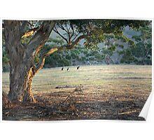 Kangaroos in the Field - Kangaroo Island  Poster