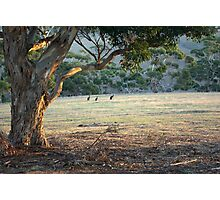 Kangaroos in the Field - Kangaroo Island  Photographic Print