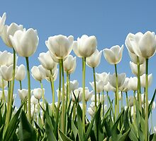White tulips by Lifeware