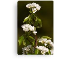 English pear tree blossom Canvas Print