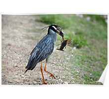 Yellow-Crowned Night Heron with Crawfish Poster