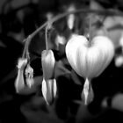 Bleeding Heart ll by Patricia  Butler