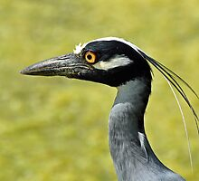 Yellow-Crowned Night Heron by venny
