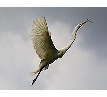 Beautiful Great White Egret Photographic Print