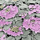 Hydrangea - coloured line art by PhotosByHealy