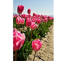 Tulips in Skagit Valley Photographic Print