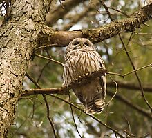 Exiting Barred Owl by Jason Lee Jodoin