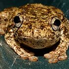 Peron's Tree Frog, Litoria peronii by Gabrielle  Lees