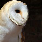 Barn Owl by Mike Topley