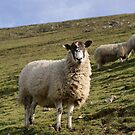 Ilam Sheep 2 by Mike Topley