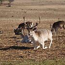 Deer by Mike Topley