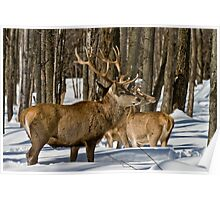 Red Deers In Winter Poster