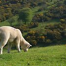 Lamby by Mike Topley