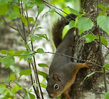 American Red Squirrel by Aler