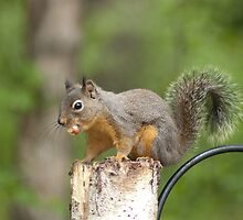 American Red Squirrel. by Aler
