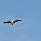 Sea Eagle by Christina Backus