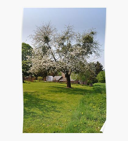 Apple tree in blossom Poster
