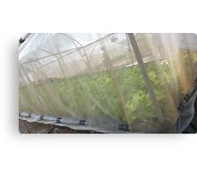 Hydroponic Vegetables Canvas Print