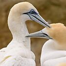 Gannet Pair 1 by Werner Padarin