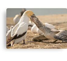 Gannet Feeding Canvas Print