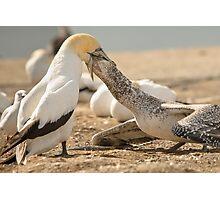 Gannet Feeding Photographic Print