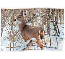 Deer - Eagle Creek Park Poster