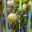 Poppy Seed Capsules by karina5