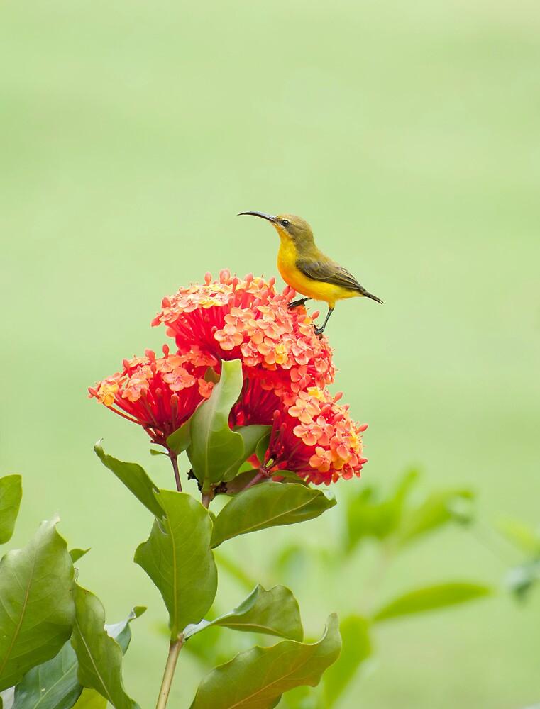 Little Sweety - yellow bellied sunbird by Jenny Dean