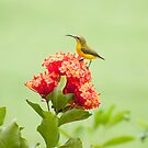 Little Sweety - yellow bellied sunbird by Jenny Dean