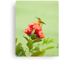 Little Sweety - yellow bellied sunbird Canvas Print