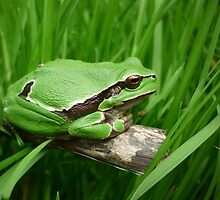 European Tree Frog  (Hyla arborea) by Istvan froghunter