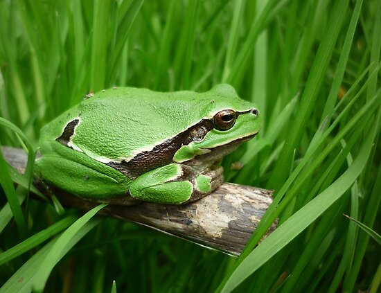 European Tree Frog  (Hyla arborea) by Istvan froghunter