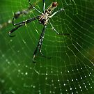 Golden Silk Orb-weaver (Nephila sp.) - Bolivia by Jason Weigner