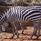 Zebra, Most Striped One of All by tarynb