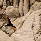 Turkey Vulture by Chris Morrison