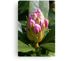 White Rhododendron Bud Canvas Print