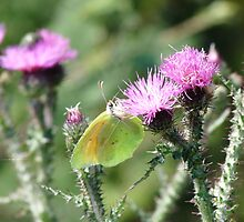 Yellow green Butterfly by solena432