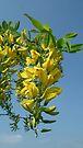 A Sprig From The Laburnum Tree by lynn carter