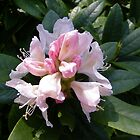 White Rhododendron Opening by LoneAngel