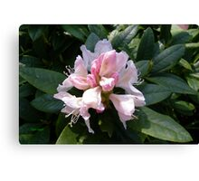 White Rhododendron Opening Canvas Print