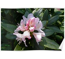 White Rhododendron Opening Poster