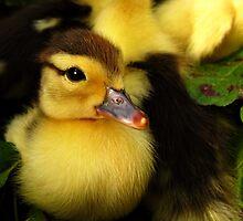 Poser - Muscovy duckling by Marina Herceg