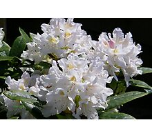White Rhododendrons Fully Open Photographic Print