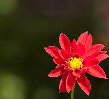 Red Daisy by rajeshbac