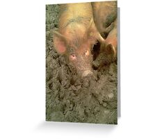 Give us a Kiss - Tamworth pigs mucking about. Greeting Card